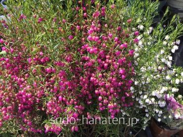 ボロニアです。 葉っぱはハーブのような爽やかな香り、花はバラのような香りがします。 水を撒いた時にフワッと素晴らしい芳香が漂います。