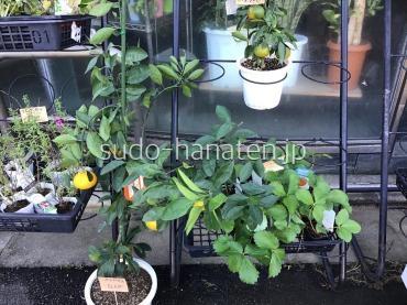 みかん鉢と苺苗